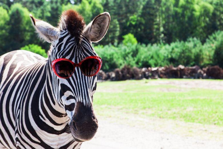 Zebra. (fotó: shutterstock/Jan Schneckenhaus)